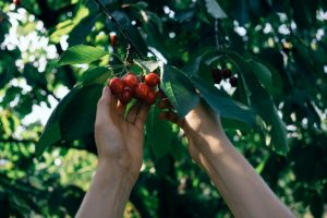 Hand picking a bunch of cherries from a tree